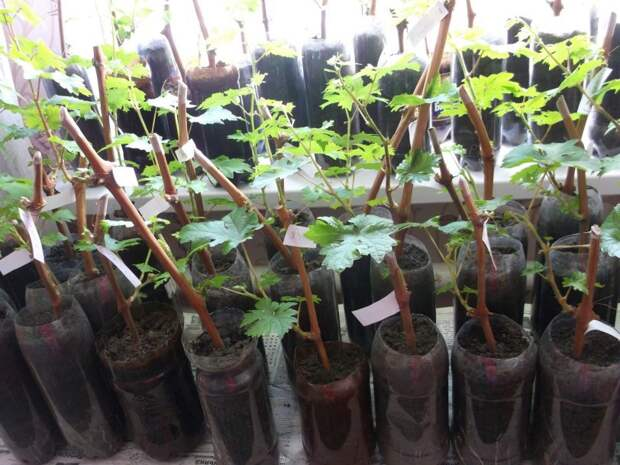 Как посадить виноград: когда сажать, куда сажать и как