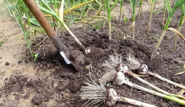 Что можно посадить на грядках чеснока после сбора урожая. Почему я не оставляю землю пустой