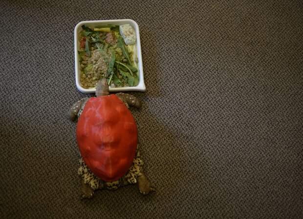Черепахе напечатали на 3D-принтере новый панцирь