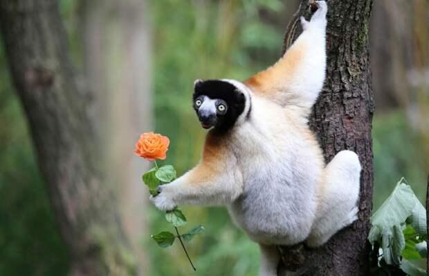 Сифака – священное животное для жителей Мадагаскара