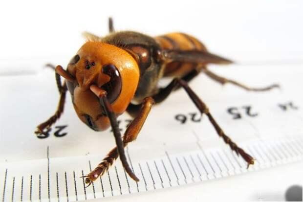 http://i.ucrazy.ru/files/pics/2014.04/1398069932_06-giant-hornet.jpg