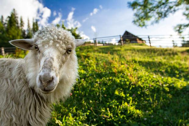 Овца забрела в отель в Британии