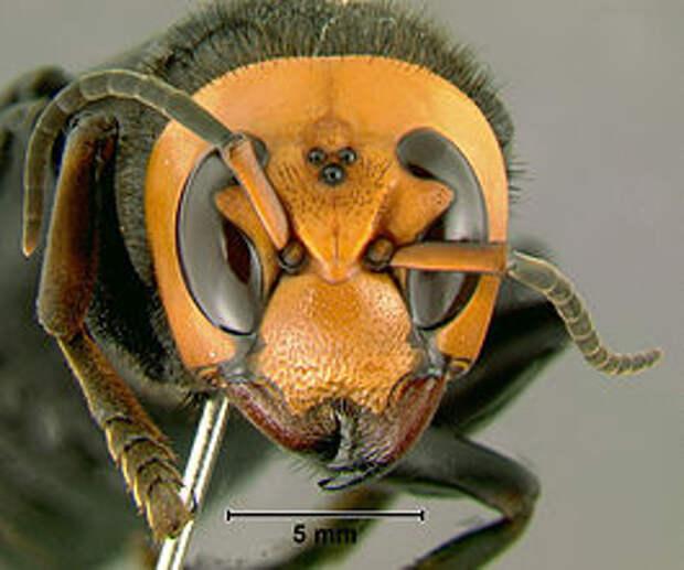 https://upload.wikimedia.org/wikipedia/commons/thumb/f/f5/Vespa_mandarinia.jpg/265px-Vespa_mandarinia.jpg