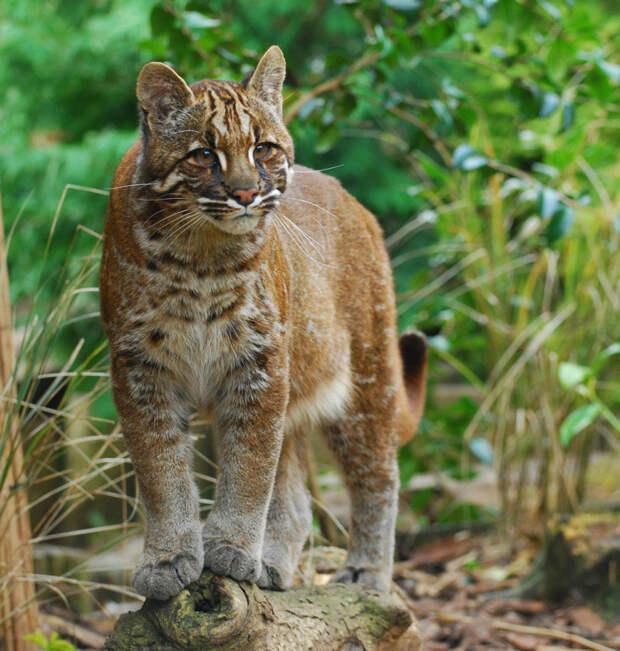 13. Азиатская золотая кошка кошки, природа