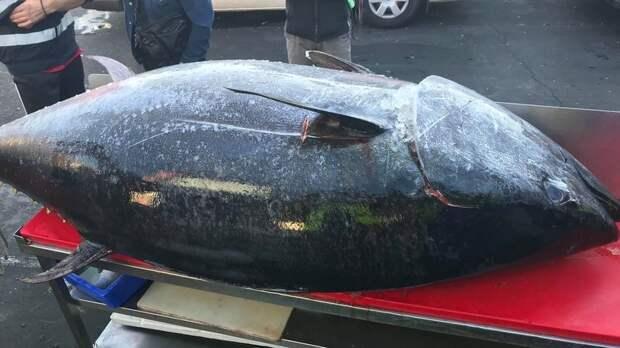 Рыбаки поймали 271-килограммового тунца