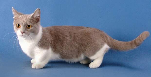 картинки маленькие кошки: Манчкин