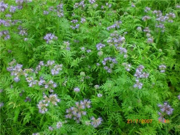Сад, цветник и огород. Что такое сидераты, для чего они нужны