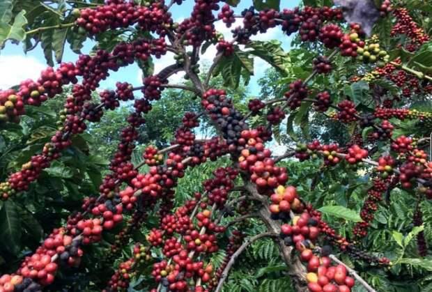 Кофе Арабику скоро будем пить рюмками: Бразилия снижает производство популярного сорта