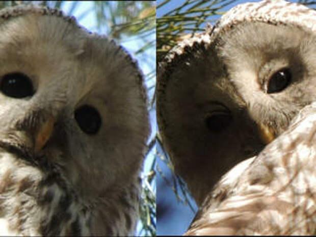 Внешность обманчива: птица с томным взглядом оказалась опасным хищником