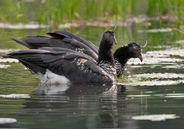 Рогатая паламедея: Ноготь на голове и заточки на крыльях. Странная птица из джунглей вооружена до зубов
