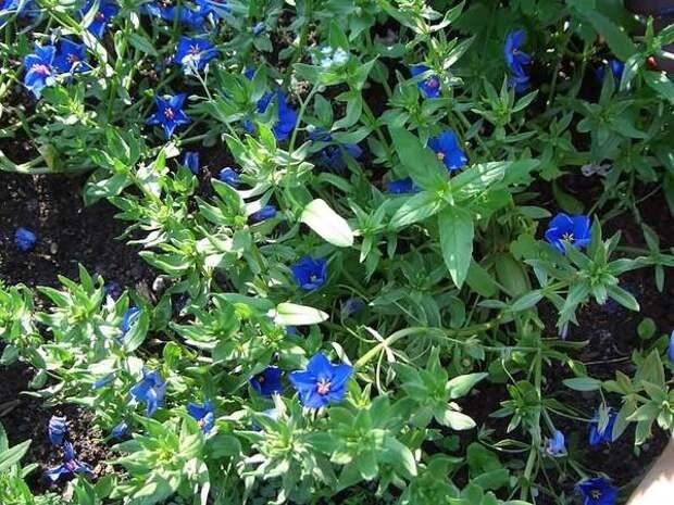 Анагаллис Монелли, фото с сайта flower.onego.ru