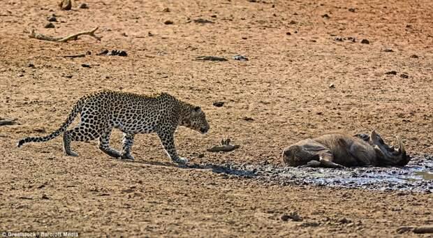 Смятение: Леопард не знает, мертв ли бородавочник или просто спит посреди сухой равнины бородавочник, животные, леопард, охота, природа
