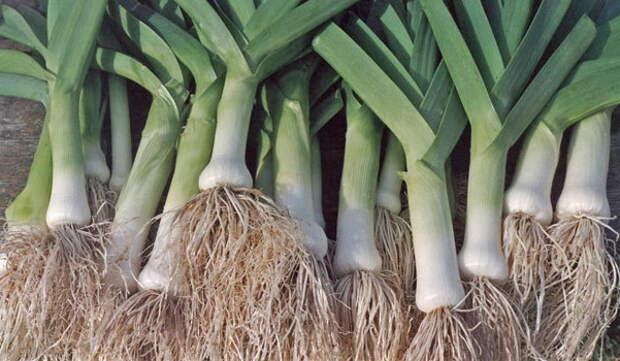 Как вырастить лук-порей