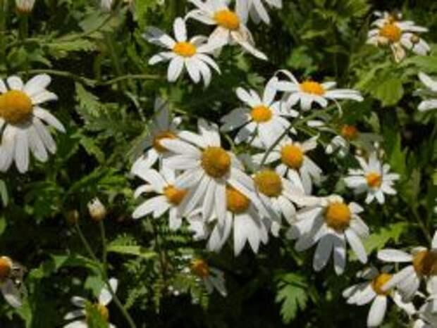Аргирантемум перистораздельный подв. суккулентный (Argyranthemum pinnatifidum ssp. succulentum)