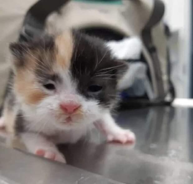 Котенок калико
