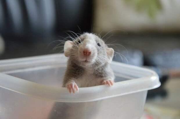 Их мордочки совсем не «целовабильные» животные, крыса, милота, позитив