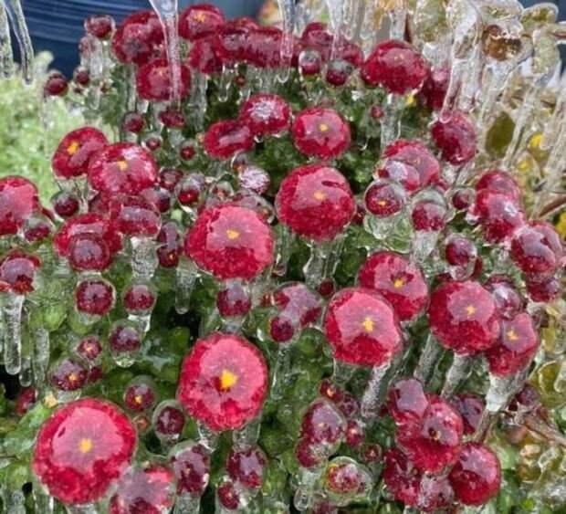 красные цветы покрытые льдом