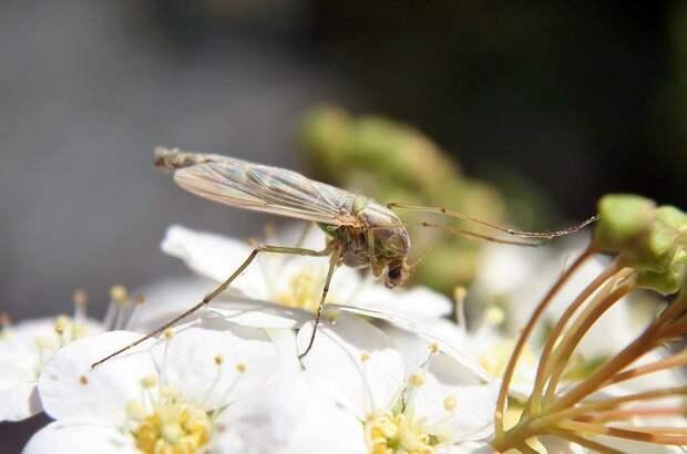 Комары насекомое, насекомые, описание