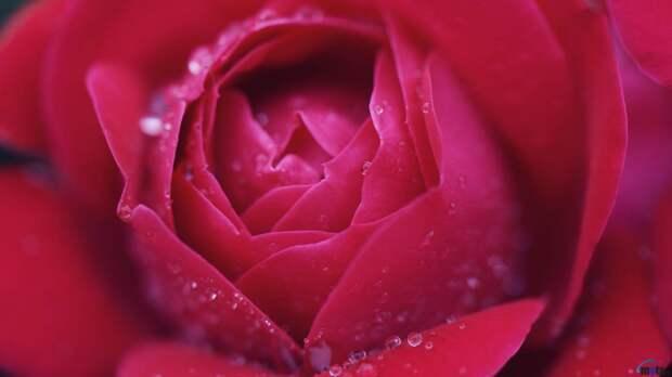 цветок, роза, макро, розовая, фото, обои, cкачать картинку в HD формате - Широкоформатные обои для компьютера, адроида и телефон