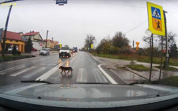 Со знанием ПДД: песик переходит дорогу по пешеходному переходу