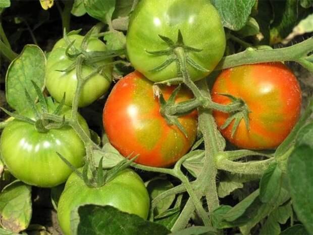 Как поторопить томаты, чтобы они быстрее покраснели