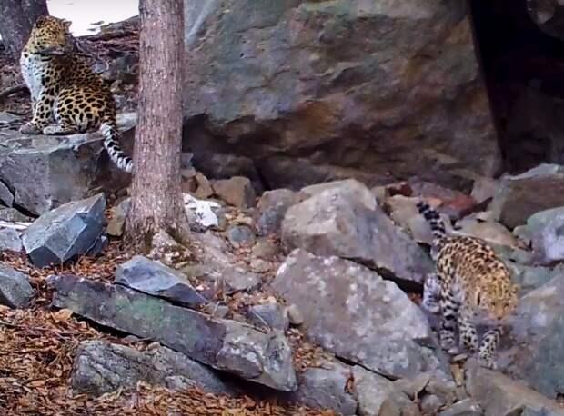 Свидание двух леопардов попало на видео. Любовь у них короткая, но регулярная