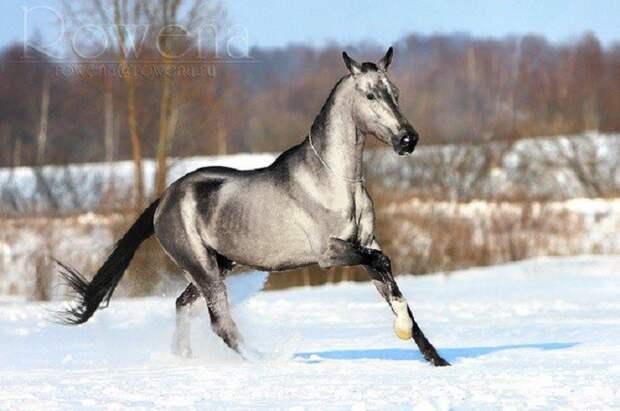 Серебристо-буланая животные, красота, лошади