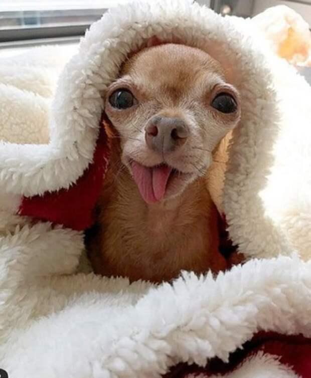 Пес под одеяльцем