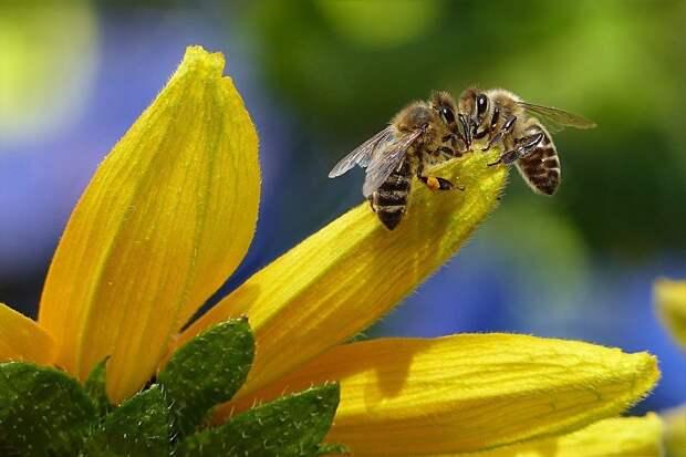 Удмуртии присвоили статус «неблагополучной» по инфекционному заболеванию пчел
