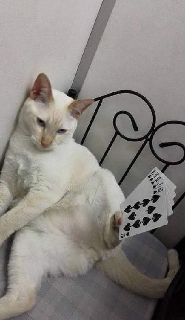 Разве кот может собрать флеш-рояль? Конечно нет, определённо фотошоп вещи, кот