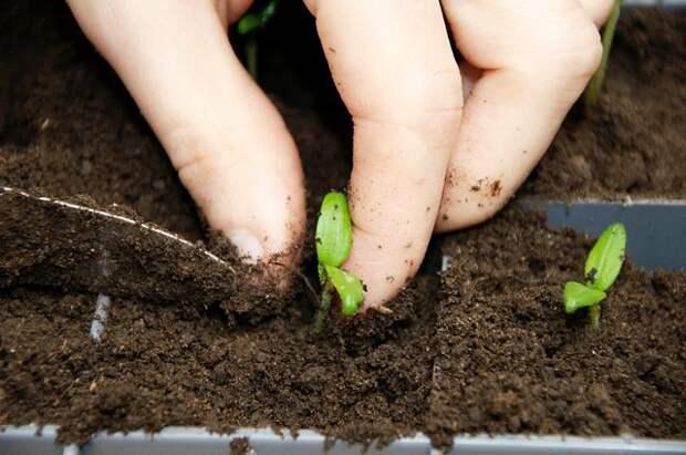 Пикировка и пересадка. Выращиваем рассаду помидоров, перцев и баклажанов