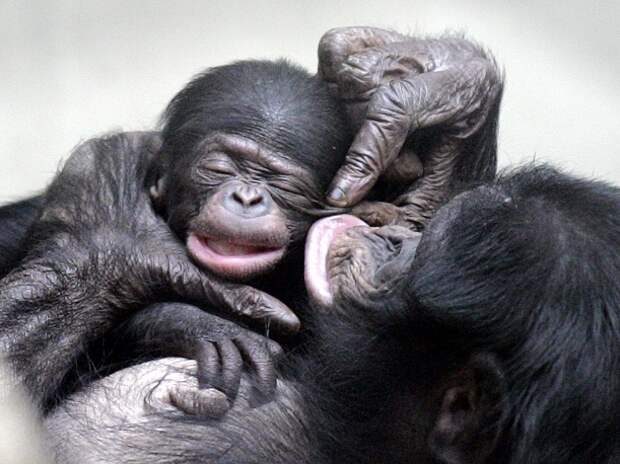 13 любопытных фактов про обезьян