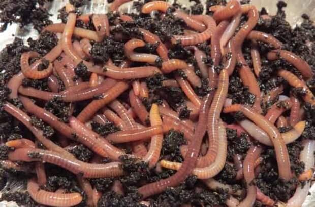Хитрая добавка к червям, чтобы улучшить клёв рыбы — работает весной и летом