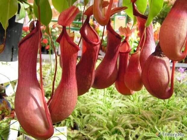 Самое крупное хищное растение - непентес. интересное, природа, растения, цветы