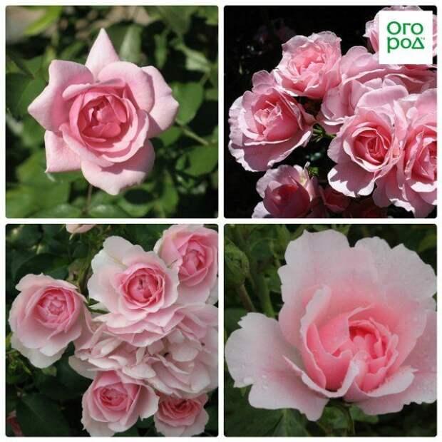розы боника 82