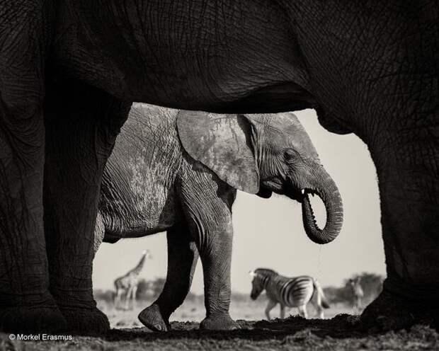 Забавные, яркие, необычные фотографии животных на конкурсе Wildlife Photographer of the Year 2015