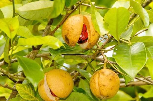 А вы когда-нибудь видели мускатный орех в природе? \ Фото: mandarin-shop.ru.