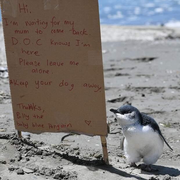 Спасите Билли. Маленький пингвин дрожал от страха, глядя на толпу людей с собаками…
