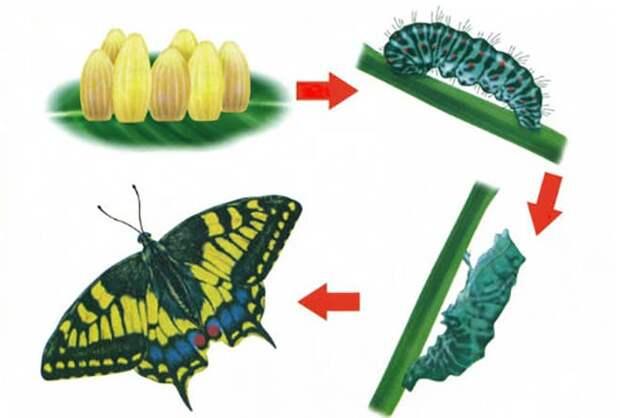 Цикл жизни бабочек