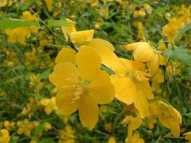 jap_Kerria_japonica01 (700x525, 68Kb)