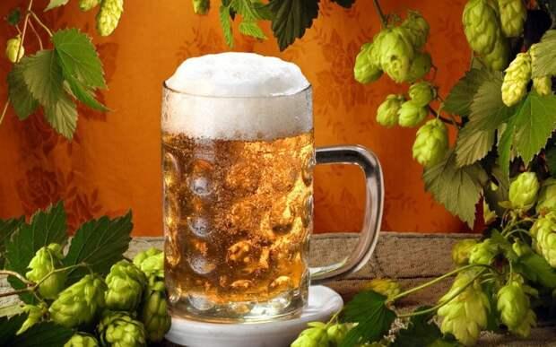 Пивной хмель защищает от болезни Альцгеймера еда, здоровье, пиво, прикол, факты