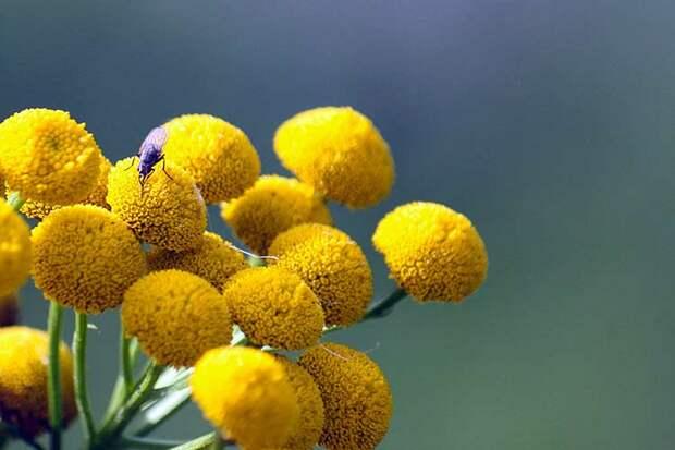 Загадочный садовый цветок с ароматом земляники, ананаса и карамели