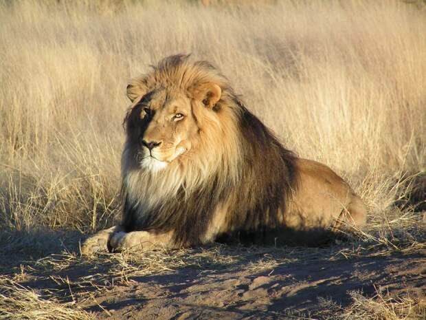 https://upload.wikimedia.org/wikipedia/commons/thumb/7/73/Lion_waiting_in_Namibia.jpg/1200px-Lion_waiting_in_Namibia.jpg