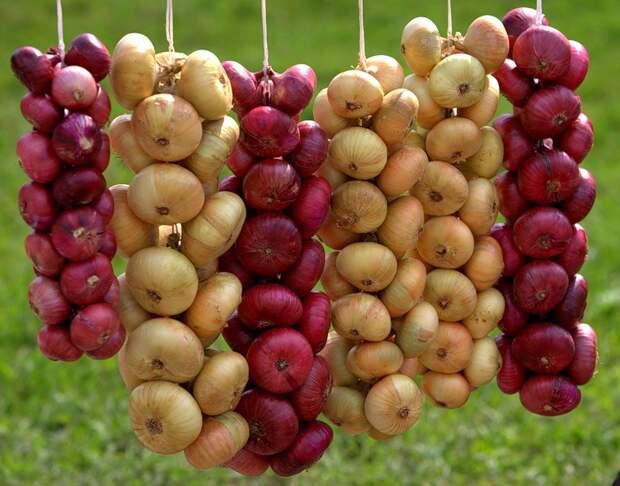 Выращиваем лук китайским способом