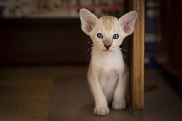 Сиамские кошки. Красивые фото. Котенок беого окраса