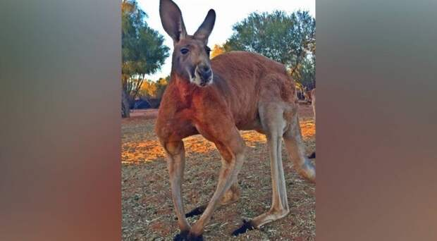 В Австралии появился король: двухметровый качок-кенгуру