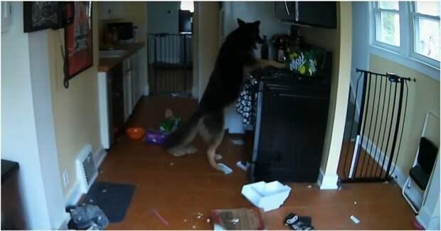Собака чуть не сожгла дом хозяев видео, животные, кухня, пожар, прикол, собака, собаки