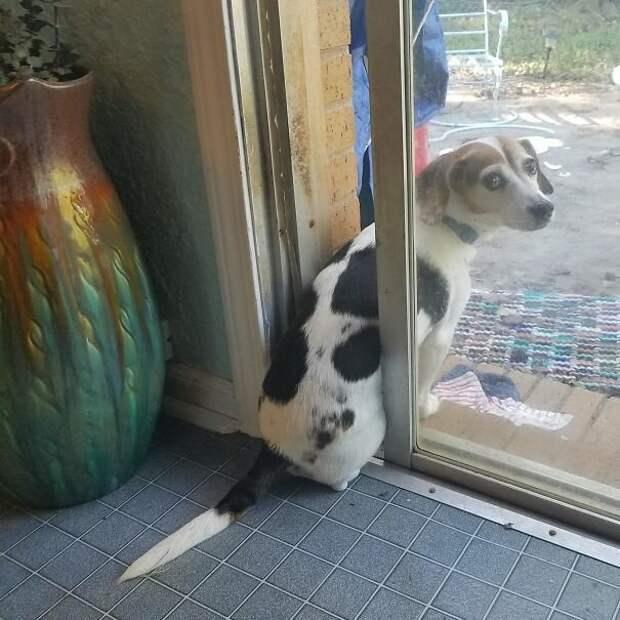 8. Софи не любит, когда хозяева закрывают за ней дверь, поэтому наблюдает за птицами таким образом  баловство, животные, питомец, поведение, собака, странность, юмор