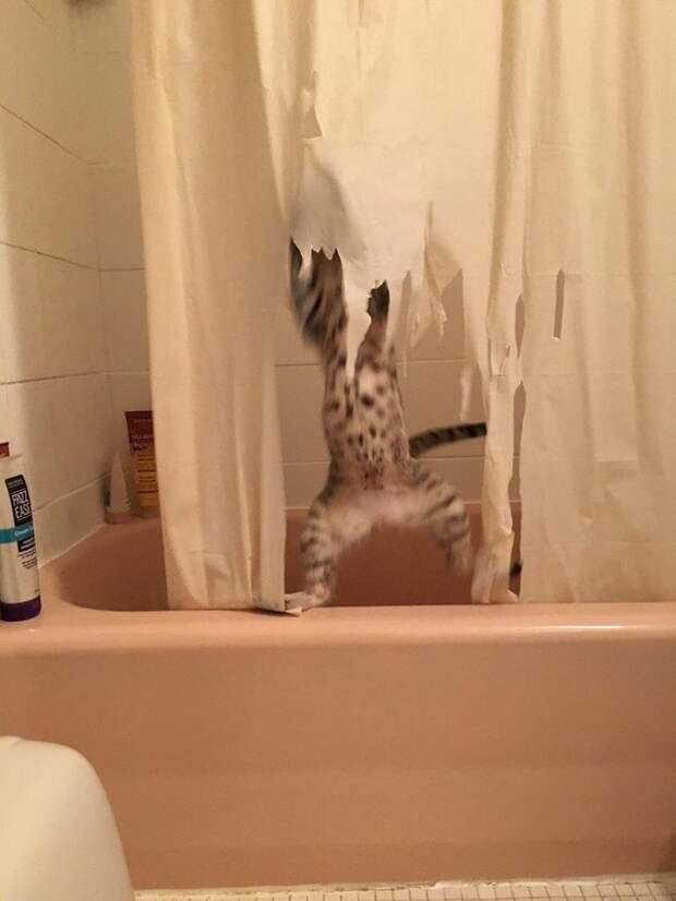 Кот и занавеска ванна, занавеска, кот