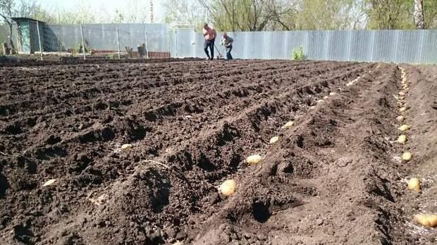 Какие условия для хорошего урожая картошки